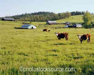 Cows and Barn